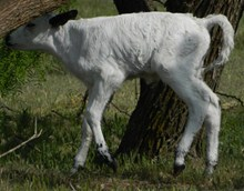 Majesty bullcalf